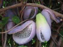 Akebia quinata (fruit)