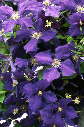 Clematis hybride
