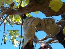 La Taille De Murier Platane La Passion Des Jardins Et De La Nature