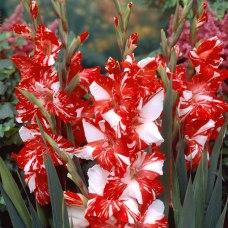 Gladiolus hybride