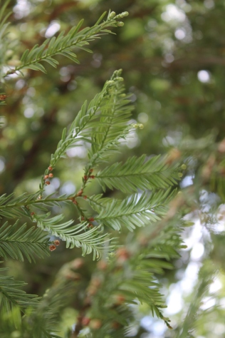 Sequoia sempervirens (feuille)