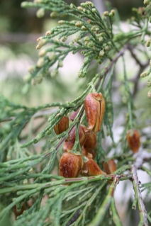 Clocedrus decurrens