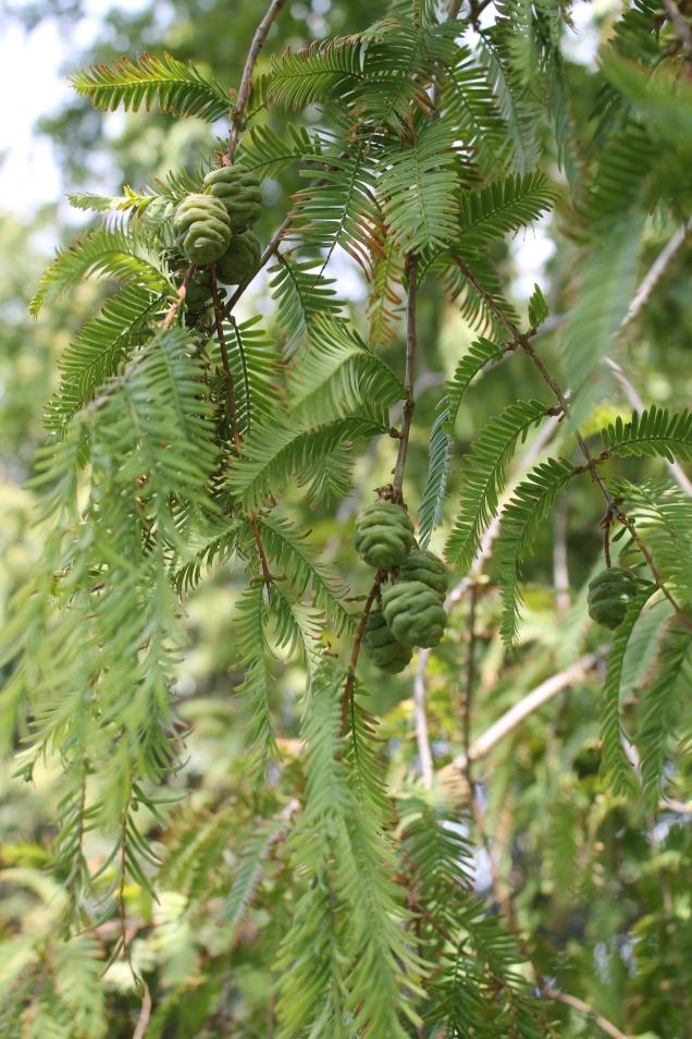 Metasequoia glyptroboides