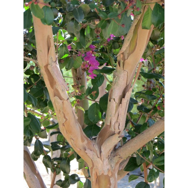 Largerstroemia indica (tronc)