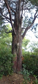 Cupressus arizonica glauca tronc