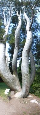 Tronc Pinus bungeana