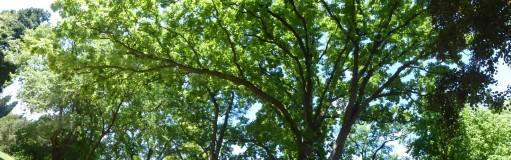 Houppier Quercus macrocarpa