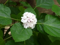 Clerodendron philippinum
