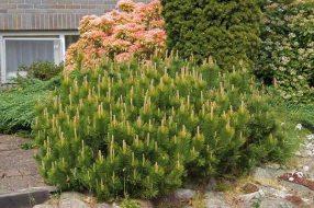 Pinus mugo mughus