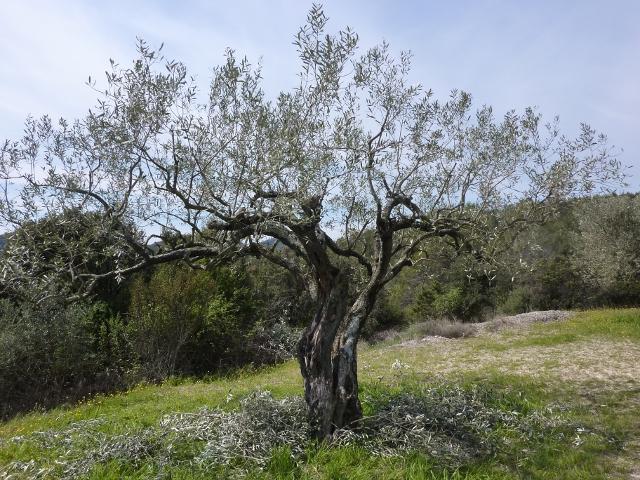 La taille de l\'olivier | LA PASSION DES JARDINS ET DE LA NATURE