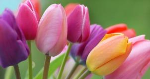 Tulipa hybride