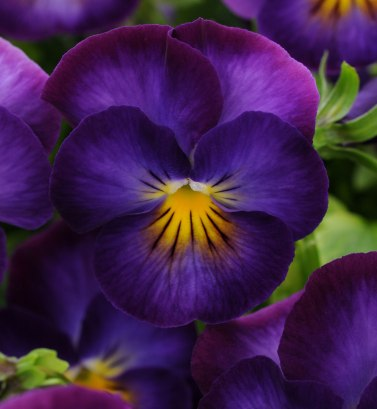 Viola hybride