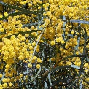 Acacia (Mimosas)
