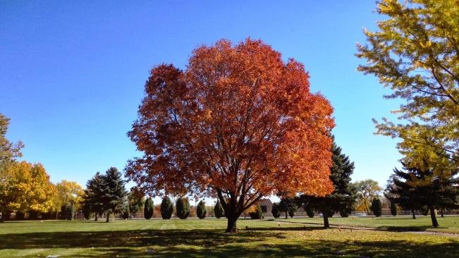 Fraxinus americana (Frêne blanc)
