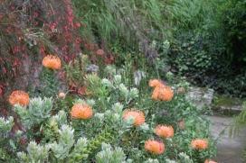 Leucospermum 2