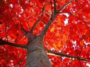 Quercus (Chêne)