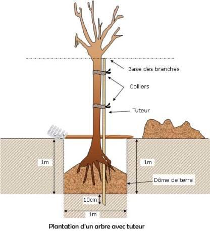 Plantation d'un arbre tige avec un tuteur