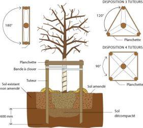 Plantation d'un arbre tige tuteur bipode ou plus