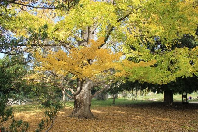 Ginkgo biloba en automne au parc Borély à Marseille