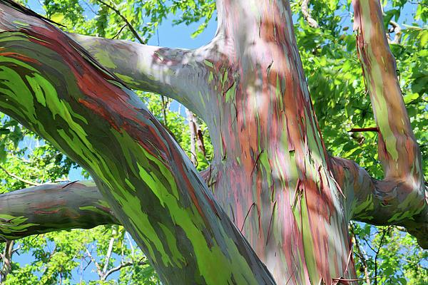 Eucalyptus Deglupta L'arbre Arc En Ciel