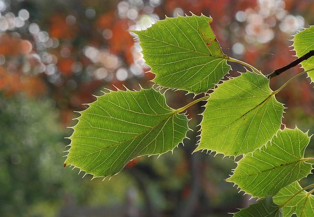 Tilia tilleul la passion des jardins et de la nature - Tilleul a grandes feuilles ...
