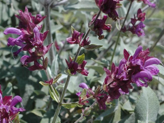 Salvia canariensis