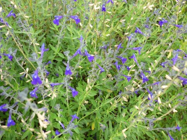 Salvia lycioïdes