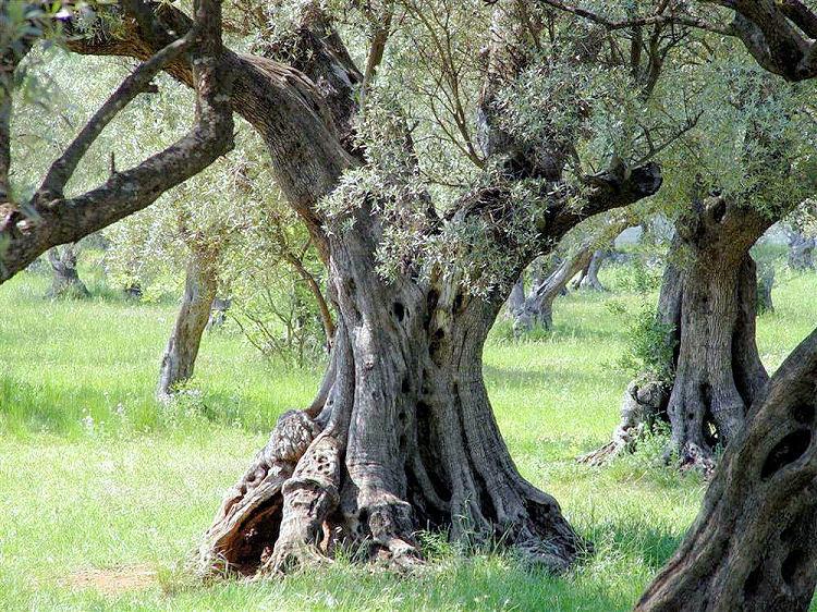 La taille de l olivier la passion des jardins et de la - Taille de l olivier ...