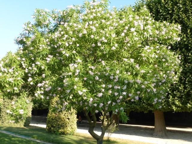 Chitalpa tashkentensis (Chitalpa de Taschkent)