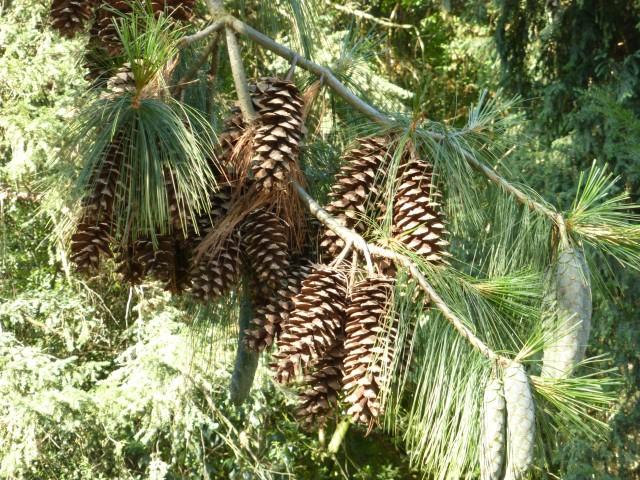 Pinus wallichiana (Pin de l'himalaya)
