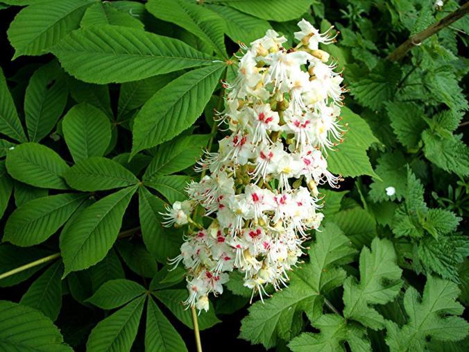 horse-chestnut-white-aesculus-hippocastanum